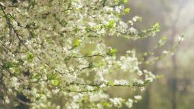 tot bloei komende boom, de lente stock video