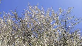 tot bloei komende boom, de lente stock footage
