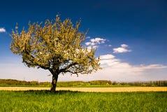 Tot bloei komende boom in de lente in landelijk landschap stock foto