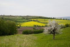 Tot bloei komende boom in de lente in landelijk landschap royalty-vrije stock foto