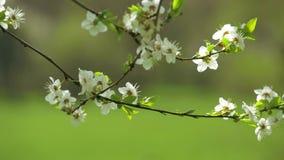 tot bloei komende boom, de lente (langzame motie) stock footage