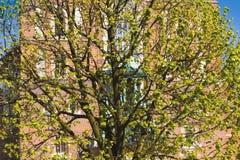 Tot bloei komende boom dichtbij aan middeleeuwse kerk, het hoofdvierkant van Krakau, Polen, de lente in het stadsconcept Royalty-vrije Stock Foto's