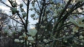Tot bloei komende boom met bloeiende bloemen stock video