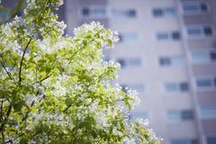 Tot bloei komende boom met flatgebouw Royalty-vrije Stock Foto