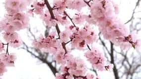 Tot bloei komende boom met roze bloemen stock footage