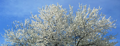Tot bloei komende boom op blauwe hemelachtergrond stock fotografie