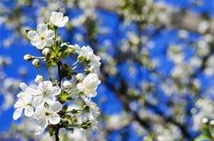 Tot bloei komende boom tegen de blauwe hemel Stock Afbeelding