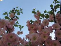 Tot bloei komende boom tegen de hemel Stock Fotografie