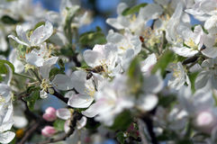 Tot bloei komende boom van een Apple-boom in de lente Stock Afbeelding