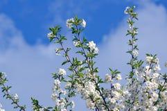 Tot bloei komende boom van een kers in de lente Stock Foto