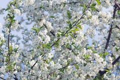 Tot bloei komende boom van een kers in de lente Stock Fotografie