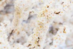 Tot bloei komende brunch van kersenpruim met bloemen in mooi licht Royalty-vrije Stock Foto
