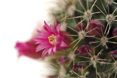 Tot bloei komende cactus dicht omhoog Stock Afbeeldingen