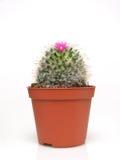 Tot bloei komende cactus in een pot Royalty-vrije Stock Afbeelding
