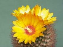 Tot bloei komende cactus Parodia commutans. Royalty-vrije Stock Fotografie