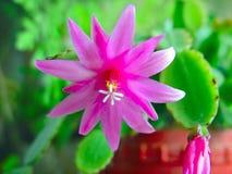 Tot bloei komende cactus Schlumbergera. Royalty-vrije Stock Foto's