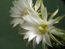 Tot bloei komende cactus van familie Echinopsis. Stock Afbeeldingen