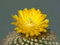 Tot bloei komende cactus van soort Parodia. Royalty-vrije Stock Fotografie