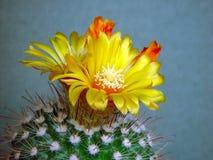 Tot bloei komende cactus van soort Parodia. Royalty-vrije Stock Foto