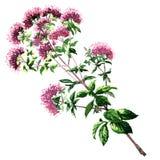 Tot bloei komende die oregobloemen op wit worden geïsoleerd royalty-vrije illustratie