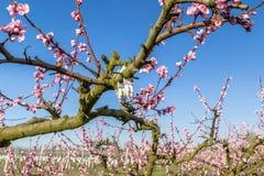 Tot bloei komende die perzikbomen met fungiciden worden behandeld stock fotografie