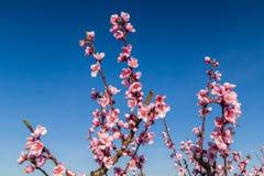 Tot bloei komende die perzikbomen met fungiciden worden behandeld royalty-vrije stock foto
