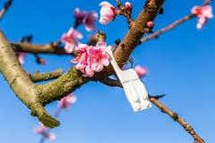 Tot bloei komende die perzikbomen met fungiciden worden behandeld royalty-vrije stock foto's