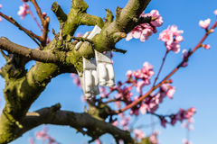 Tot bloei komende die perzikbomen met fungiciden worden behandeld stock foto