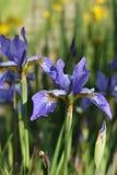 Tot bloei komende donkerblauwe irissen Royalty-vrije Stock Fotografie