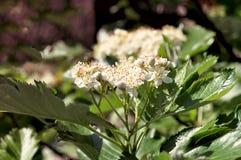 Tot bloei komende haagdoornstruik met glanzende gesneden bladeren Royalty-vrije Stock Fotografie