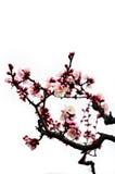 Tot bloei komende Japanse die pruimbloemen op witte achtergrond worden geïsoleerd royalty-vrije stock afbeelding