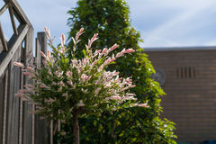 Tot bloei komende Japanse wilg met bont-gekleurde bladeren stock afbeelding
