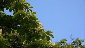 Tot bloei komende kastanjeboom in de lente De video wordt geschoten met een statische camera stock videobeelden
