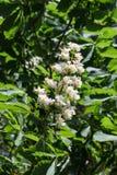 Tot bloei komende kastanjeboom in de witte Bloem van de de lenteclose-up en Groene bladeren op zonneschijn stock foto