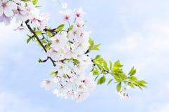 Tot bloei komende kers in de lente Royalty-vrije Stock Afbeeldingen