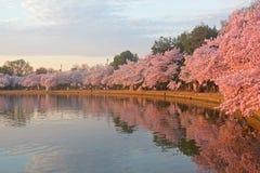 Tot bloei komende kersenbomen bij dageraad rond Getijbekken, Washington DC stock afbeeldingen