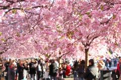 Tot bloei komende kersenbomen in centraal Stockholm Royalty-vrije Stock Afbeelding