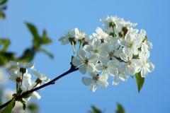 Tot bloei komende kersenboom Royalty-vrije Stock Fotografie
