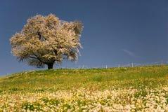 Tot bloei komende kersenboom royalty-vrije stock afbeelding