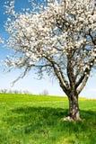 Tot bloei komende kersenboom royalty-vrije stock foto