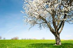Tot bloei komende kersenboom stock afbeelding