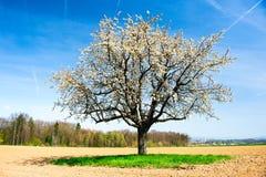 Tot bloei komende kersenboom stock foto's