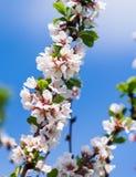 Tot bloei komende kersenboom Stock Foto