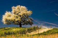 Tot bloei komende kersenboom in de lente stock afbeelding