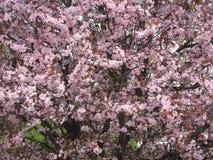 Tot bloei komende kersenboom in de tuin in de vroege lente Uzhhorod van Transcarpathië Royalty-vrije Stock Afbeeldingen