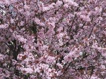 Tot bloei komende kersenboom in de tuin in de vroege lente Uzhhorod van Transcarpathië Royalty-vrije Stock Foto