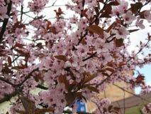 Tot bloei komende kersenboom in de tuin in de vroege lente Uzhhorod van Transcarpathië Stock Fotografie