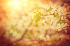 Tot bloei komende kersenboom op vage mistige zonnige achtergrond met su Royalty-vrije Stock Afbeelding