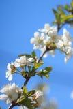 Tot bloei komende kersenboom over blauwe hemel Stock Foto's