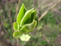 Tot bloei komende knop, de lente Stock Afbeelding